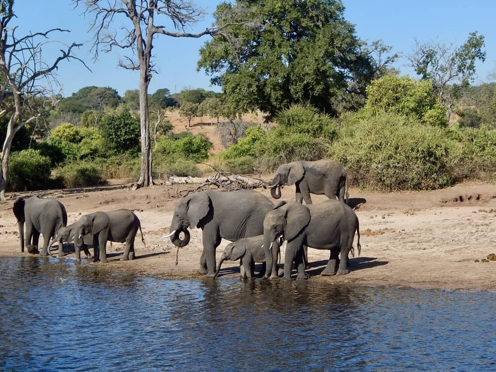 Elephants at Chobe River, Botswana