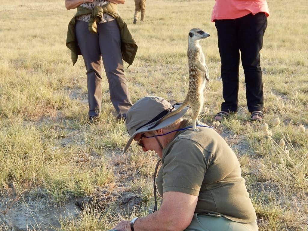 meerkats Botswana