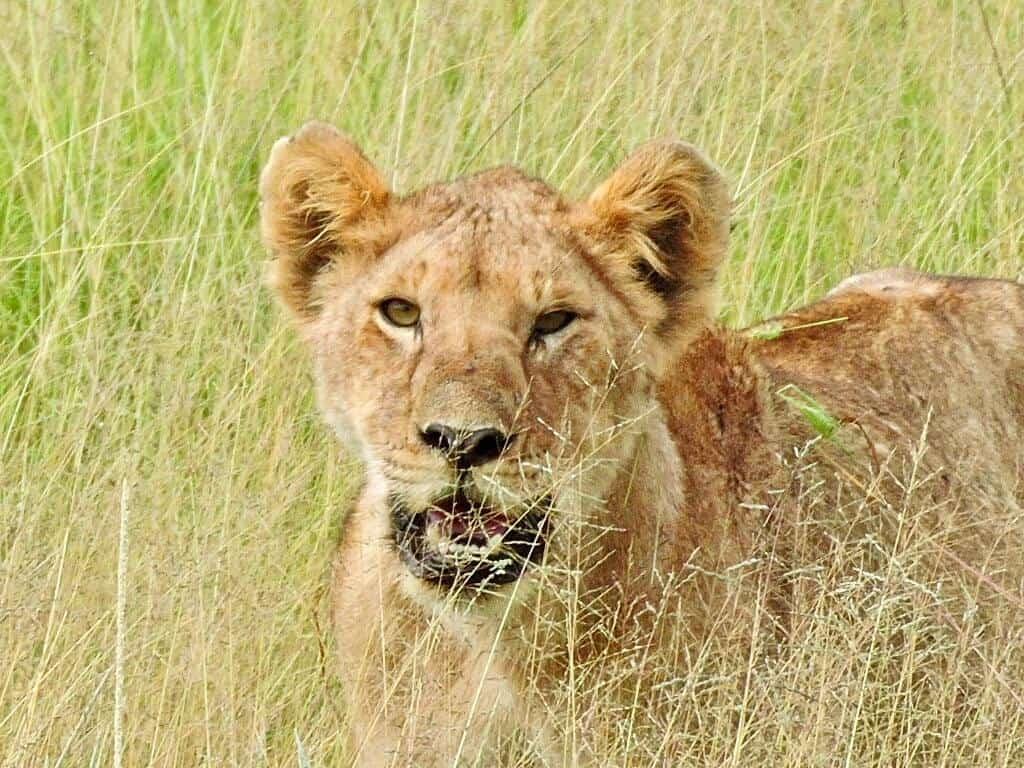 lioness Kenya