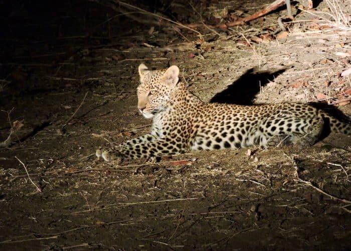 leopard cub south luangwa zambia