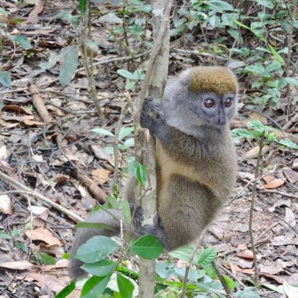Madagascar bamboo lemur