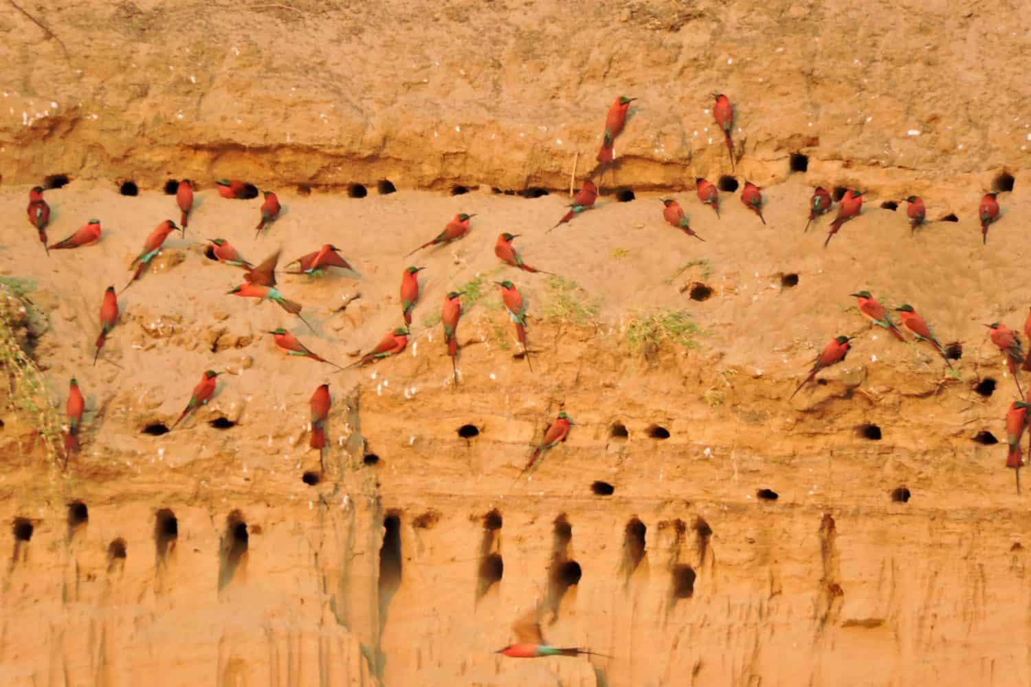 zambia carmine bee-eaters