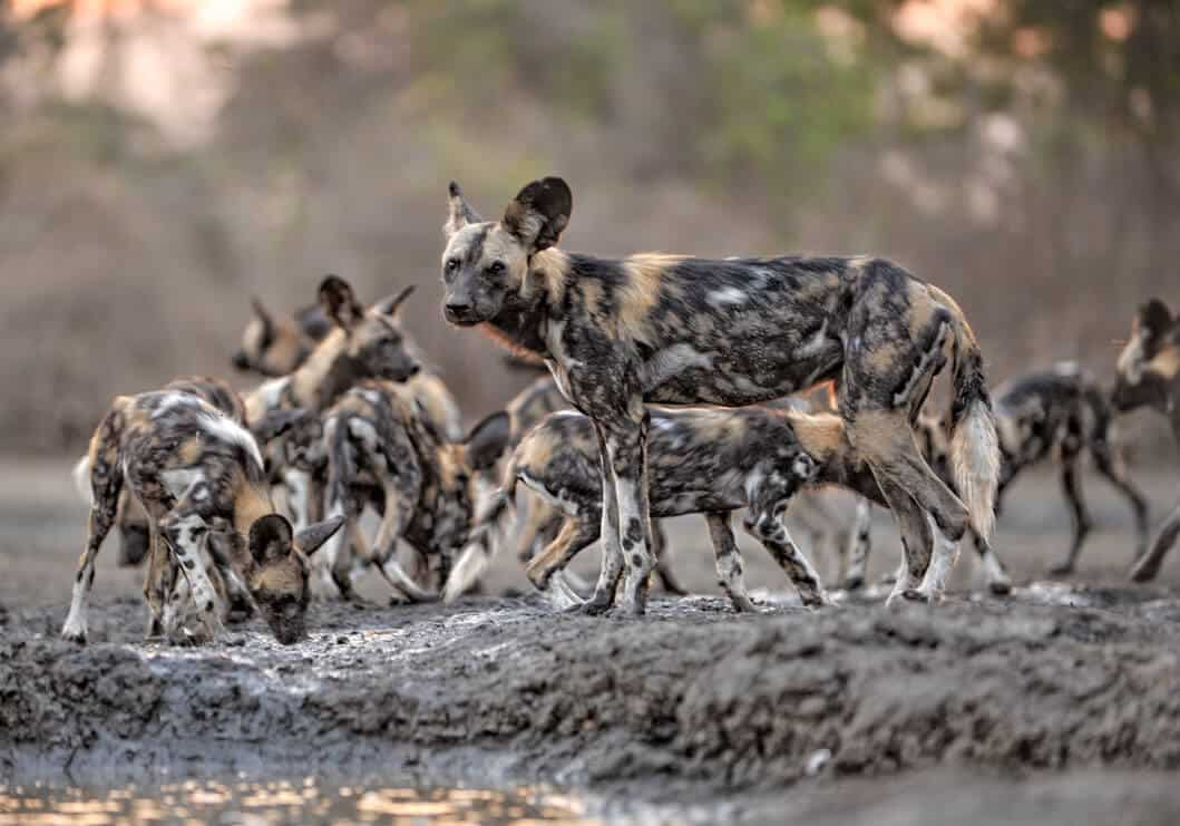 African wild dogs in Zimbabwe