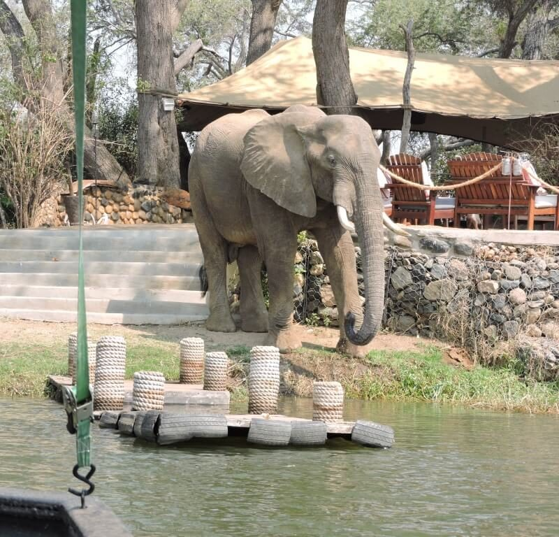 elephant in camp lower zambezi