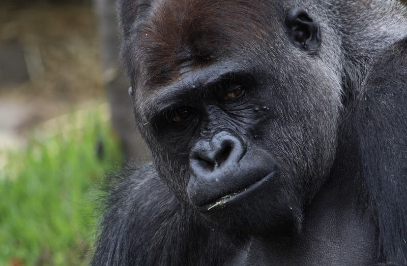 Gorilla permit increase