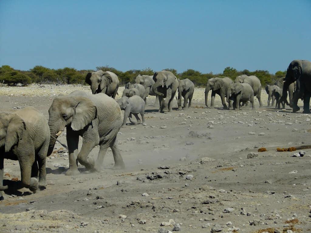 elephants Etosha Namibia
