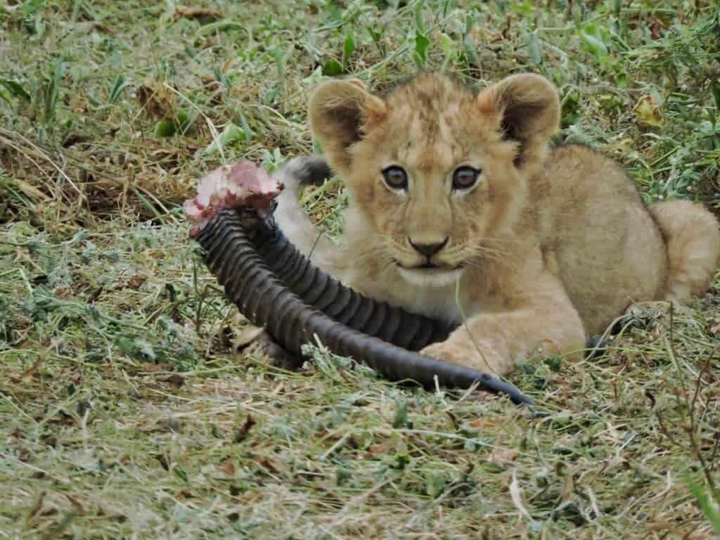 lion cub Amboseli Kenya