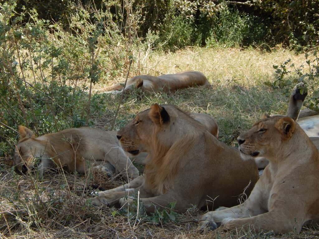 lion pride Tanzania